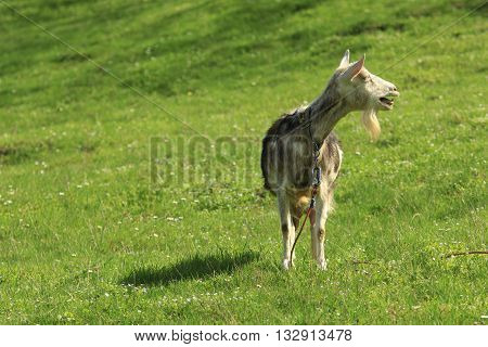domestic goat stands on a green grass and bleats