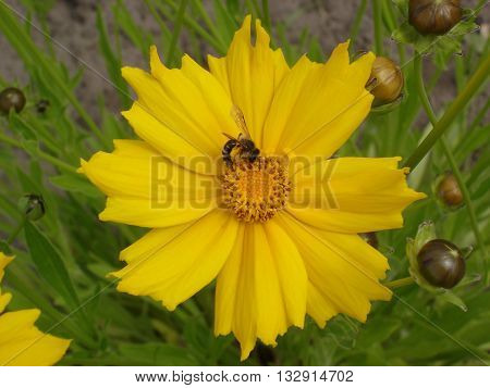 Lance-leaved coreopsis buds and yellow flower with bee.