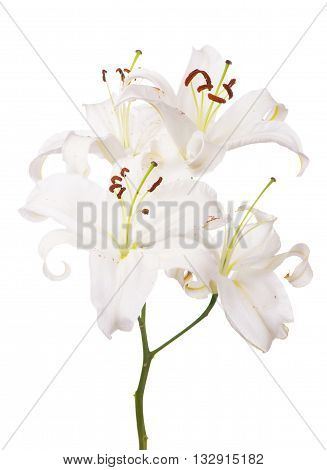 White lily flower. Isolated on white background