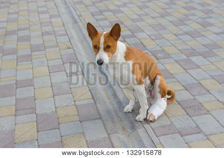 Basenji dog with broken bandaged hind feet sitting on a pavement