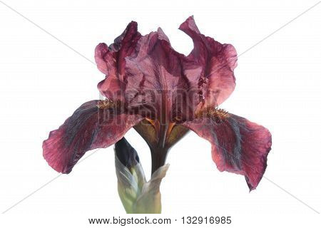 Vinous iris flower isolated on white background