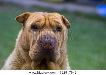 Sharpei dog breed starrring portrait of the face