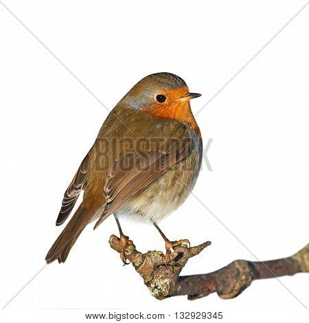European robin (Erithacus rubecula) sitting on a branch isolated on a white background