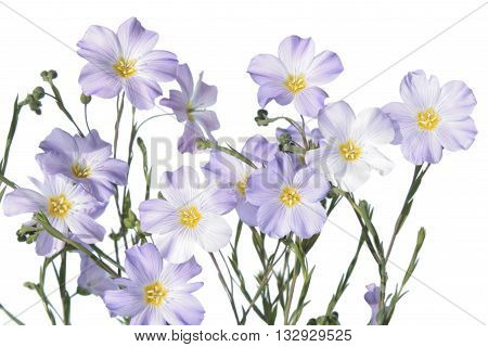 Blue flax flower isolated on white background. Flowering flax plant on white background