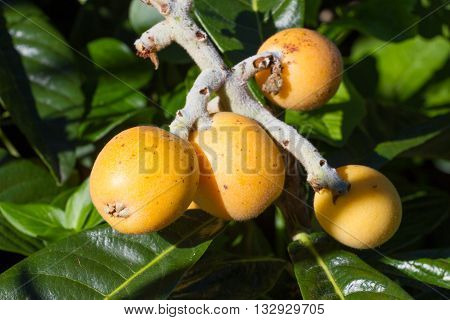 Ripe yellow fruits of loquat. Eriobotrya japonica