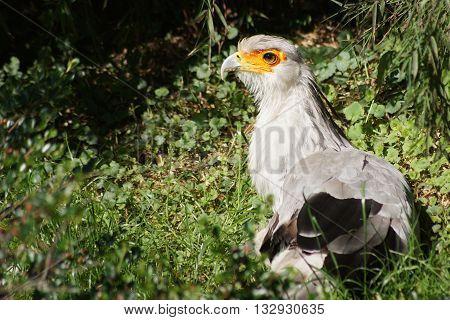 Secretary bird lying down in green grass