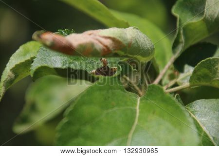 Caterpillar colony on green tree. Agriculture pest Yponomeuta malinellus .Apple Ermine Moth,