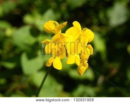 Close up of the head of a Greater bird's foot trefoil (Lotus uliginosus).