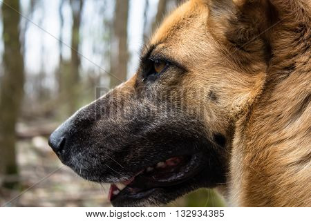 German shepherd head with beautiful yellow fur in grey winter forest
