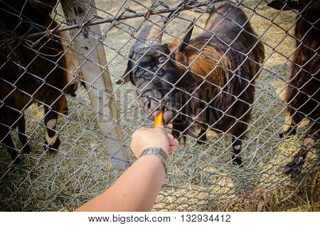 Hungry Goat Eating From Hand