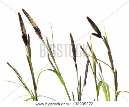 Sedge (Carex acuta) isolated on white background