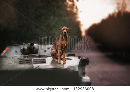 Dog breeds Rhodesian Ridgeback sits on a tank in outdoor