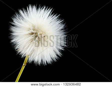 Mature blooming poisonous sonchus arvensis on black as dandelion