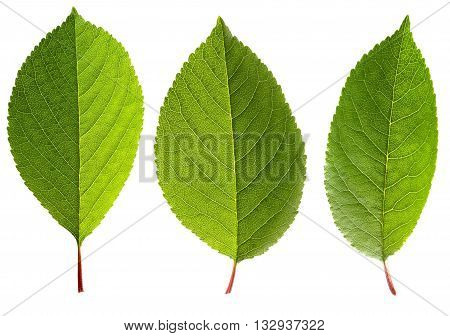 Three fresh green leaves of cherry isolated on a white background. Cherry leaves with veins close up. Herbarium.