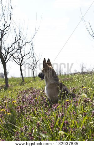 Guardian dog sit in a beautiful green spring flower meadow