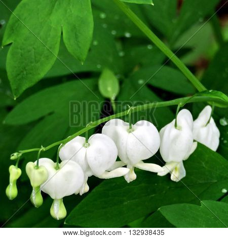 Dutchman's Breeches wildflowers in forest of Mclean near Washington DC 2 May 2016 USA