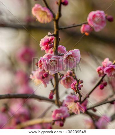 Plum Blossoms West Lake Jiangsu Province China.