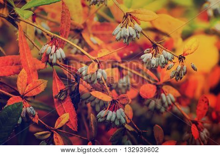 Barberry blue fruits in the colorful autumn park, natural vintage hipster seasonal fall background