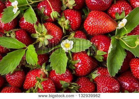 food background with plenty of ripe strawberry with flowers, close up