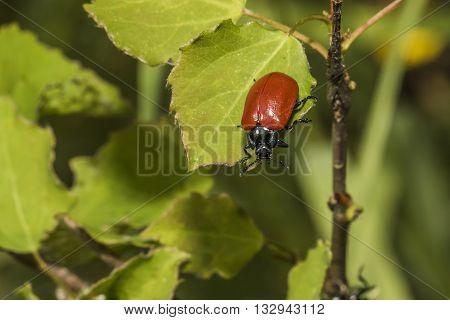 A red poplar leaf beetle on a leaf