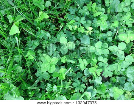 Four leafed clover growing in a paddock or field