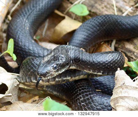 Black Rat Snake sunning on the Skyline Drive