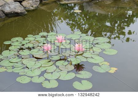 blooming lily pads in a calm pond.
