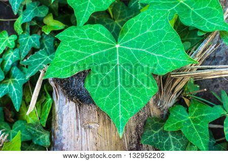 Closeup Of Ivy Leaf
