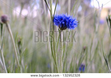 Phyteuma Orbiculare Purple Blue Colorado Wildflower Blooming