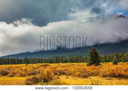 Yellow and orange herbs and evergreen fir-trees. Fine
