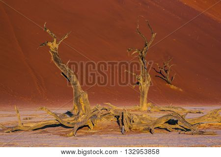 The long shadows of the evening sunset. The bottom of dry lake with dry trees. Namib-Naukluft National Park