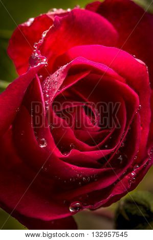 Drops on a red rose. Water drops are on a the petals of a rose and look like jewels.