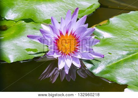 Purple lotus occur in the natural beauty.,Blue Water Lily in the lake
