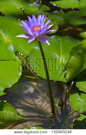 Purple lotus occur in the natural beauty.