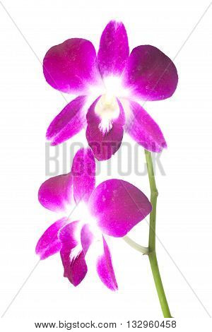Orchid flower isolate on white Dendrobium, Pink Orchids.