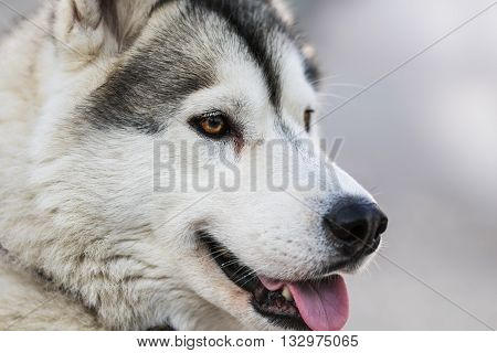 Photo of Fluffy Husky Dog Portrait. Syberian Husky Dog Portrait