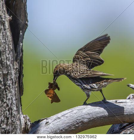 Specie Cinnyricinclus leucogaster family of Sturnidae, female violet backed starling feeding in Kruger park