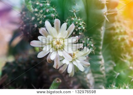 Cactus Flowers On Tree In Soft Mood,mila Or Closeup Cactus Flower And Blank Space Area For Backgroun