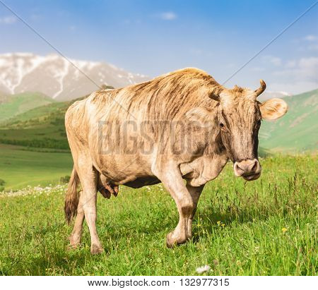 Beautiful cow grazing on green meadow in mountains of Armenia