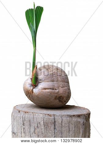 The old sprout of coconut tree isolated on white background and clipping mask