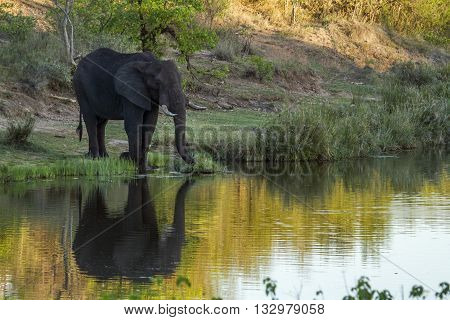 Specie Loxodonta africana family of Elephantidae, african bush elephant walking in the riverbank in savannah, Kruger park