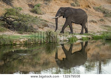 Specie Loxodonta africana family of Elephantidae,  african bush elephant walking in the riverbank, Kruger park