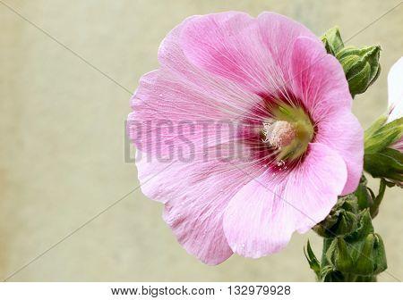 Beautifly pink malva Silvestris flowers. Mallow in the garden