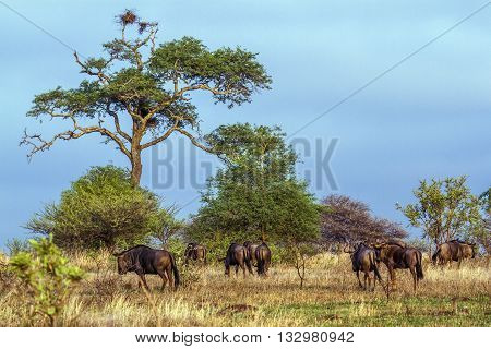 Specie Connochaetes taurinus family of bovidae, african bush elephants in savannah, Kruger park