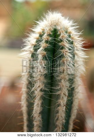 Green Cactus With White Hair