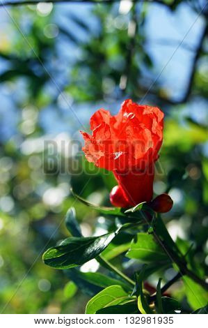 Discloses a flower on the branches of the pomegranate