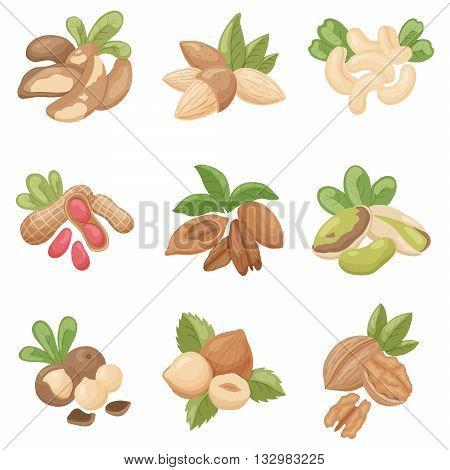 vector set of nuts: brazilian almond cashew peanut pecan pistachio macadamia hazelnut walnut