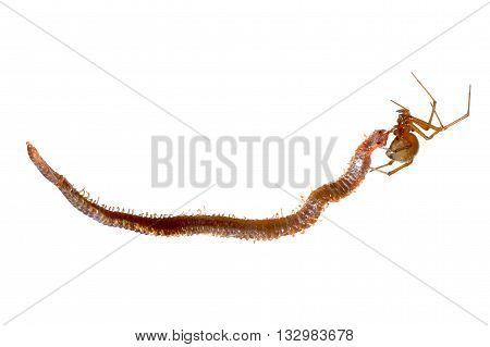 Spider Eating A Centipede