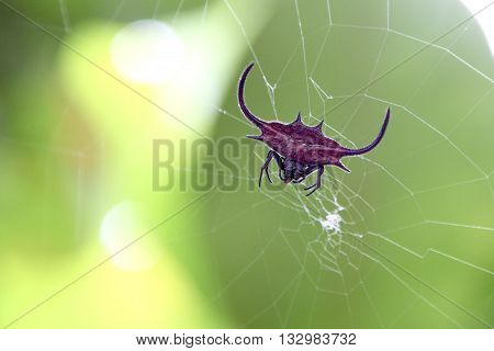 Red Spiked Orb Weaver Spider