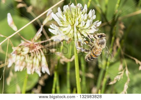Honeybee Collecting Pollen From A Clover Flower